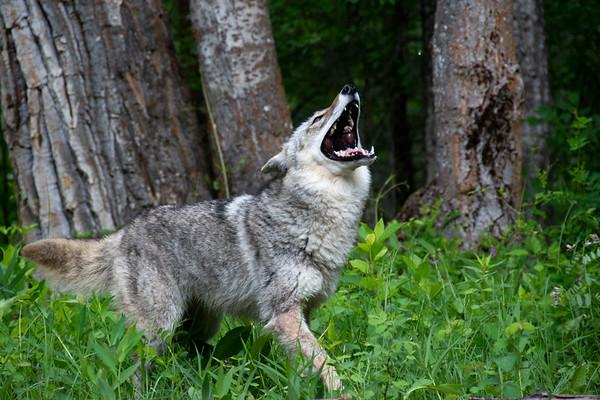 Grey wolf, howling