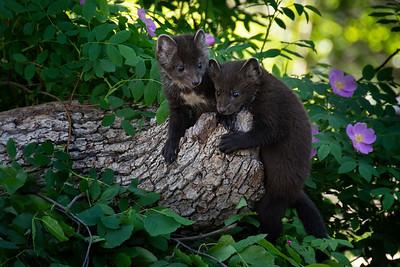 Pine Marten pups