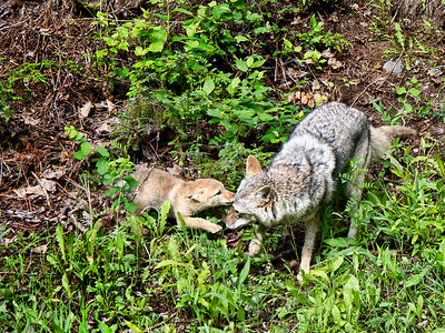 Coyote with pup