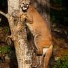 Puma in a tree