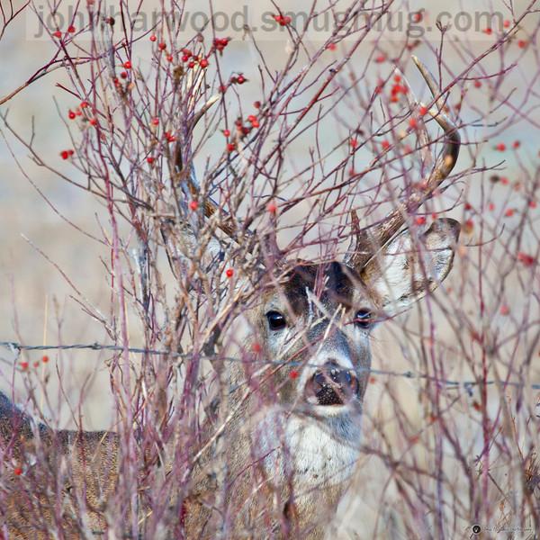 whitetail buck 16x16 portrait