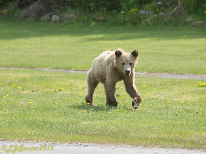 Young grizzly cub, very blonde, checking things out. Check out the claws on his paw :)