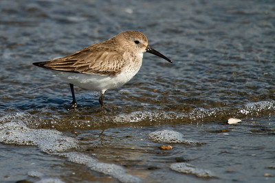 I'm thinking this guy is a Dunlin, comments?