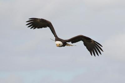 Bald Eagle 0493