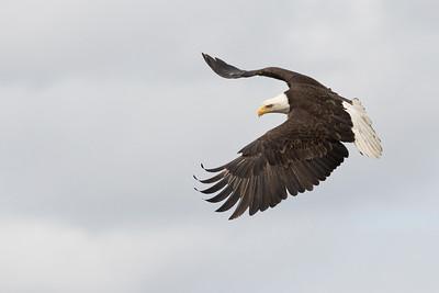 Bald Eagle 0490