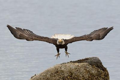 Bald Eagle 0553