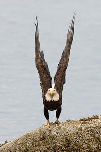 Bald Eagle 0551