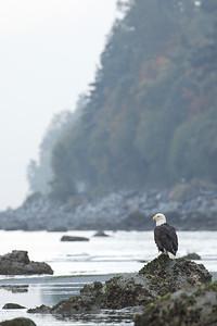 Bald Eagle 0612