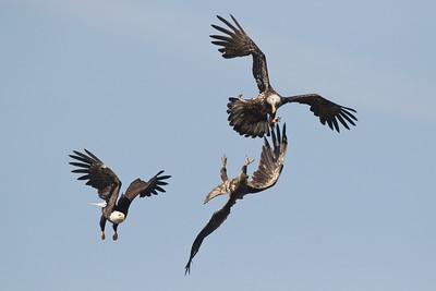 Bald Eagle 0584