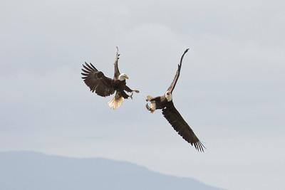 Bald Eagle 0497