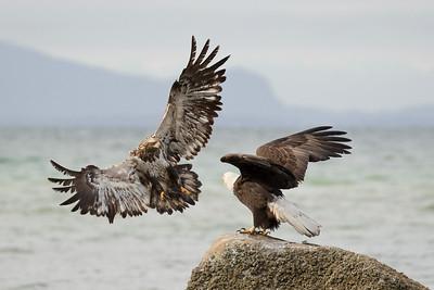Bald Eagle 0481