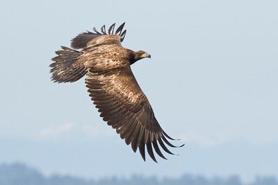 Bald Eagle 0587
