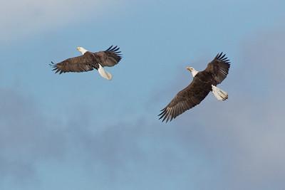 Bald Eagle 0559