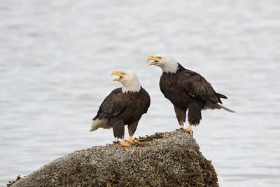 Bald Eagle 0565