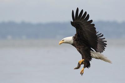 Bald Eagle 0578