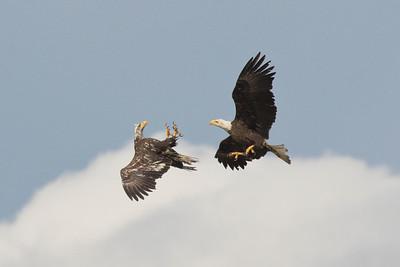 Bald Eagle 0557