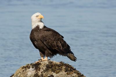 Bald Eagle 0547