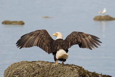 Bald Eagle 0555