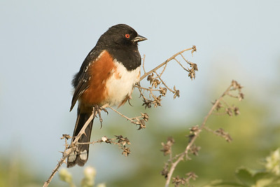 Spotted Towhee 002