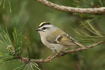Golden Crowned Kinglet 001
