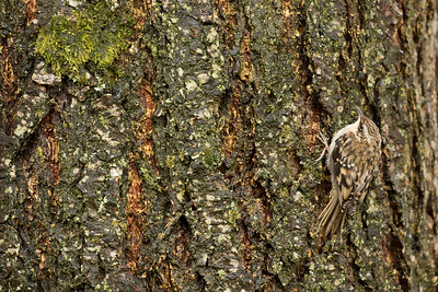 Tree Creeper 001