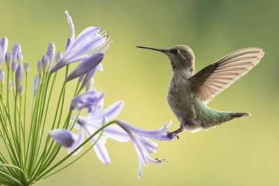 Hummingbird 0307
