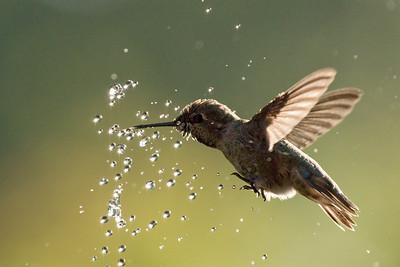 Hummingbird 0247