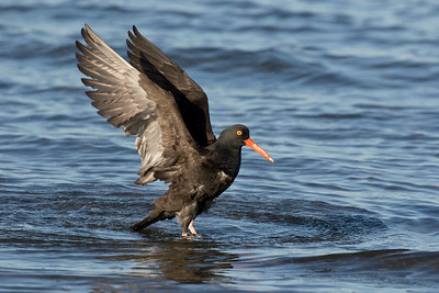 Black Oystercatcher 0211