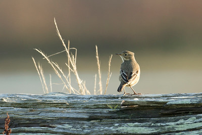 American Pipit 002