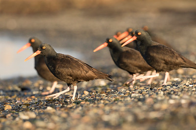 Black Oystercatcher 0202