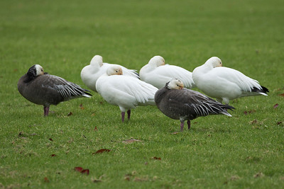 Snowgeese 062