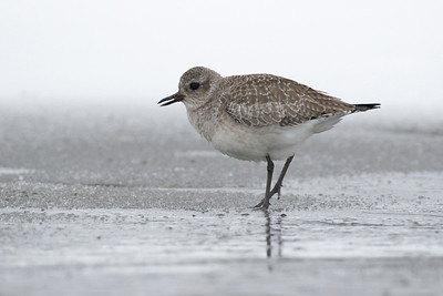 Black Bellied Plover 002