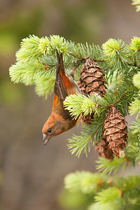Red Crossbill 002