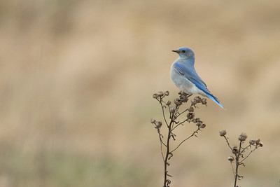 Mountain Bluebird 004