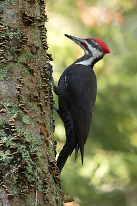 Pileated Woodpecker 003