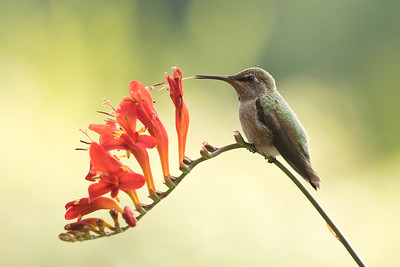 Hummingbird 0260