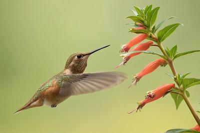 Hummingbird 0203