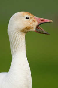 Snowgeese 051