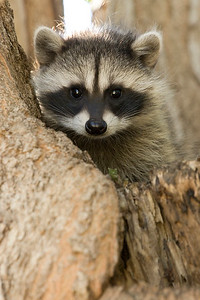 Racoons 018