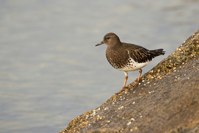 Black Turnstone 001