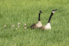 Canadian Geese 007