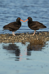 Black Oystercatcher 0216