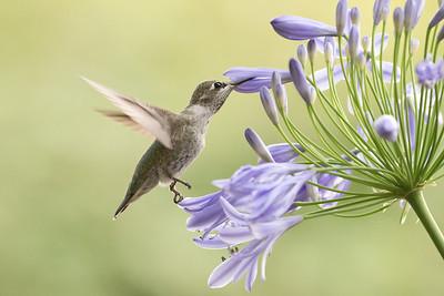 Hummingbird 0301