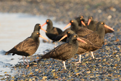Black Oystercatcher 0195