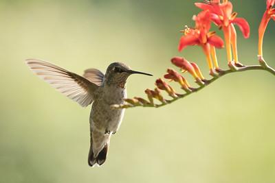 Hummingbird 0270