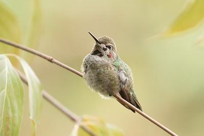 Hummingbird 0350