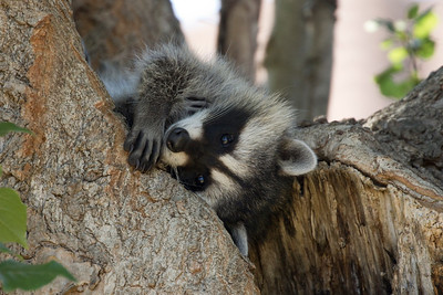 Racoons 032