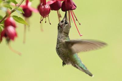 Hummingbird 0330