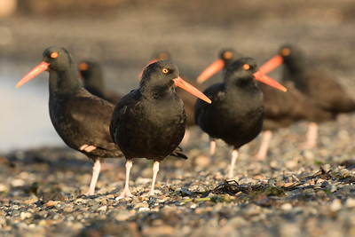 Black Oystercatcher 0187