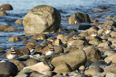 Killdeer 045